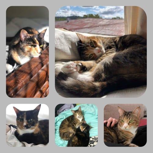 Ada & Kara  - Domestic Short Hair Cat