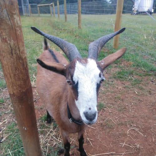 Bella the Brave -  Goat