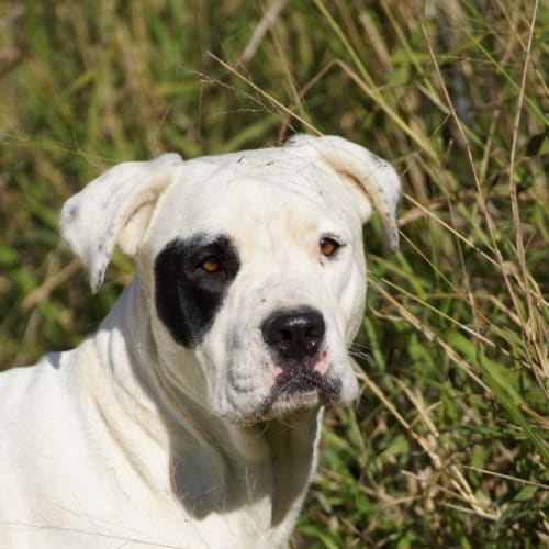 Patch - Cross breed Dog