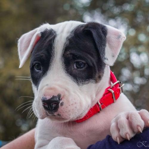Max SP0172 - Bull Terrier x Bull Arab Dog