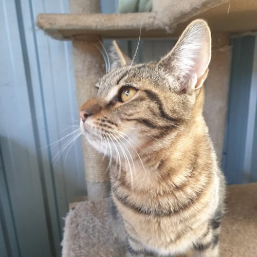 Xavier - Domestic Short Hair Cat