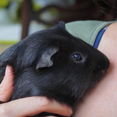 Luna -  Guinea Pig