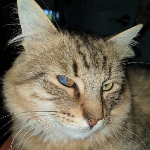 Liam - Domestic Medium Hair Cat