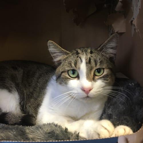 Heartbreak Romeo - Domestic Short Hair Cat