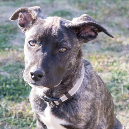 Sansa - Mastiff Dog