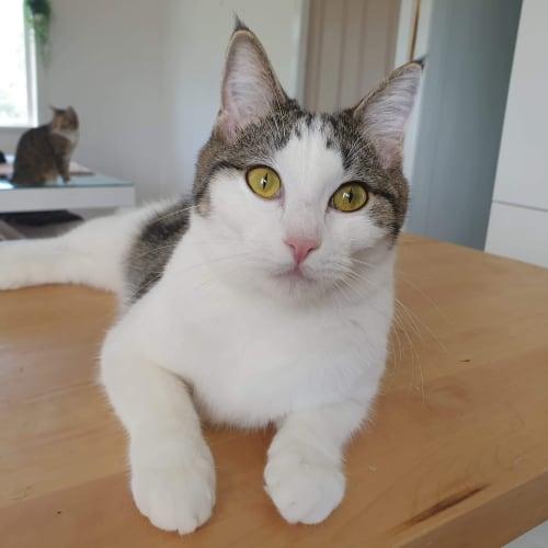 Tiki - Domestic Short Hair Cat
