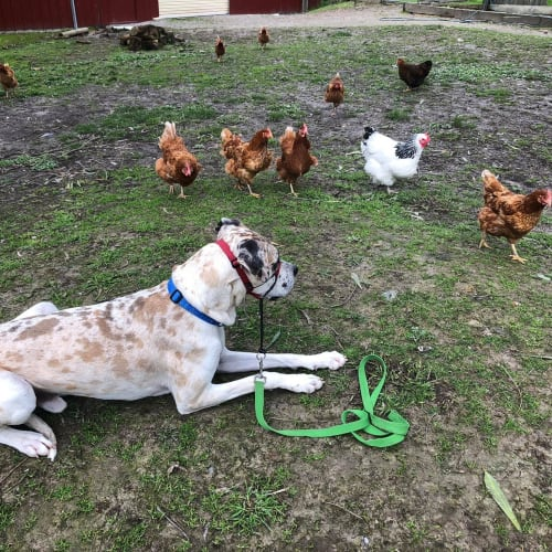 Hubert** fine with a confident cat and chickens - Great Dane Dog