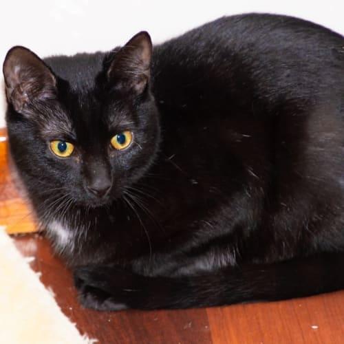 989 - Peppercorn - Domestic Short Hair Cat