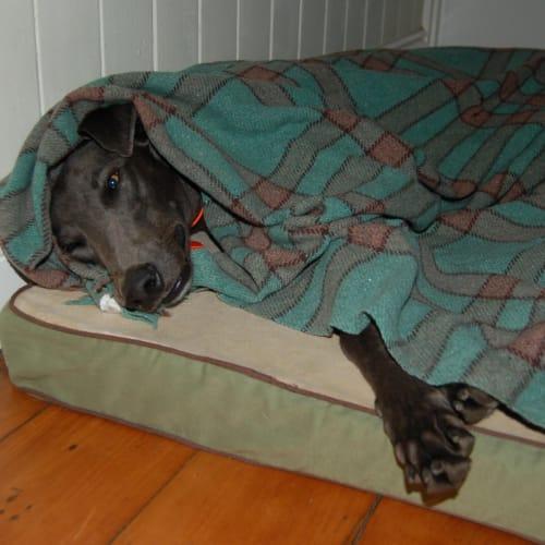 Sparkie - Greyhound Dog