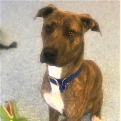 Trevor - Mastiff Dog