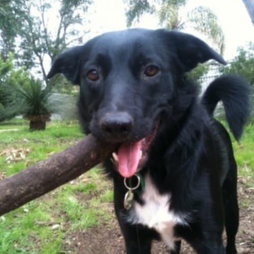 Willow - Border Collie x Koolie Dog