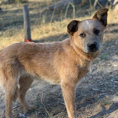 Logan - Australian Cattle Dog