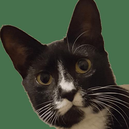 Meeka - Domestic Short Hair Cat