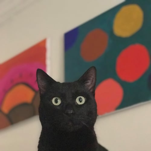 Mr Belvedere (Located in Caulfield North) - Domestic Short Hair Cat