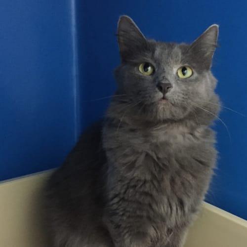 Velvet (Located in Brighton) - Domestic Medium Hair Cat
