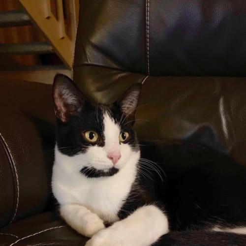 Spencer - Domestic Short Hair Cat