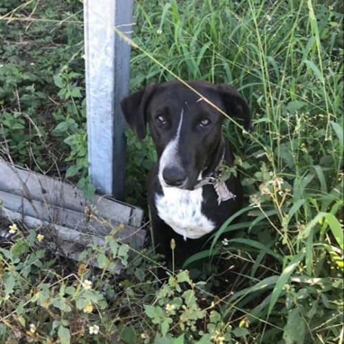Daisy 💐 - Kelpie Dog