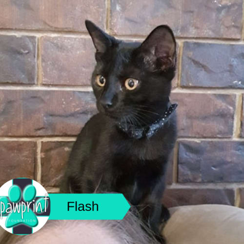 Flash - Domestic Short Hair Cat