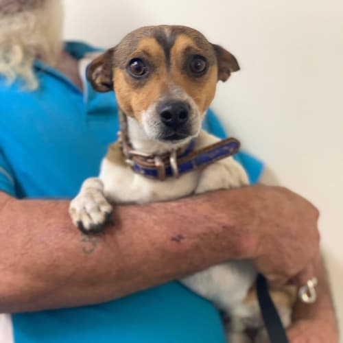 Ziggy - Miniature Fox Terrier Dog