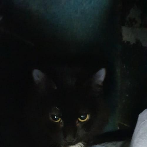 Rudi - Domestic Medium Hair Cat