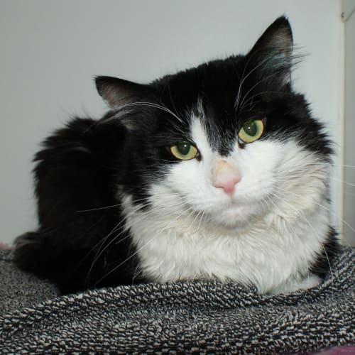 Baxter SUA004126 - Domestic Medium Hair Cat