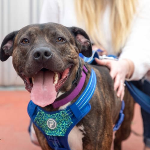 Rocco - American Staffordshire Terrier Dog