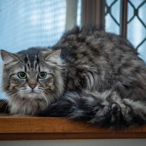 132 - Notre Dame - Domestic Long Hair Cat