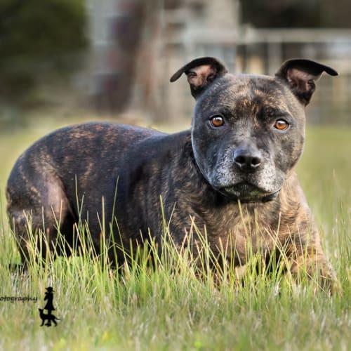 Buster - Staffordshire Bull Terrier Dog
