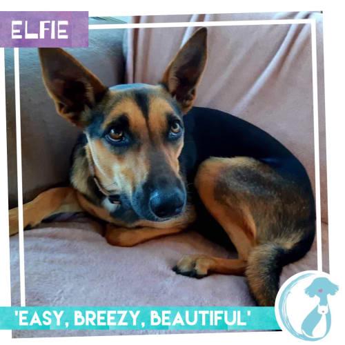 Elfie - Kelpie Dog