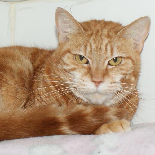 Buddy SUA004151 - Domestic Short Hair Cat