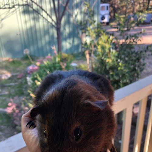 Darwin* On Trial with my new family * - Guinea Pig