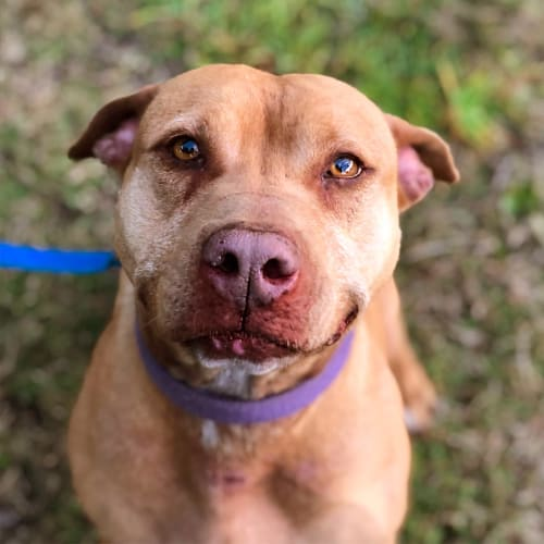 Coco ~ 8 year old American Staffy X  - American Staffordshire Terrier Dog