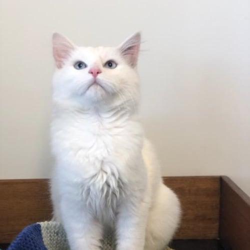 Snowflake - Domestic Medium Hair Cat