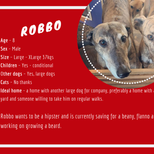 Robbo - Greyhound Dog