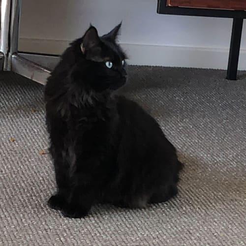 Daisy - Domestic Medium Hair Cat