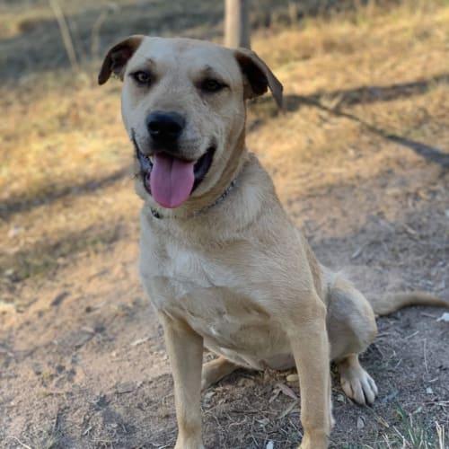Brea - Wolfhound Dog