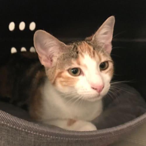 Cosette - Domestic Short Hair x Siamese Cat