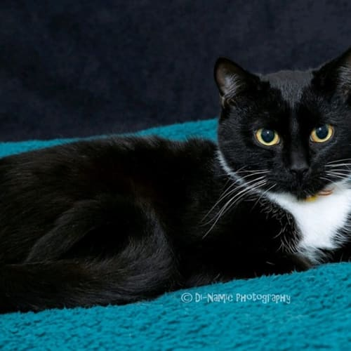 AK3199 - Bazza - Domestic Short Hair Cat