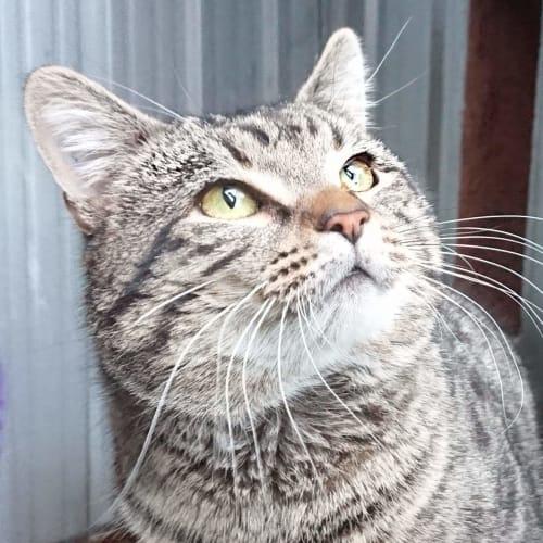 Sam - Domestic Short Hair Cat