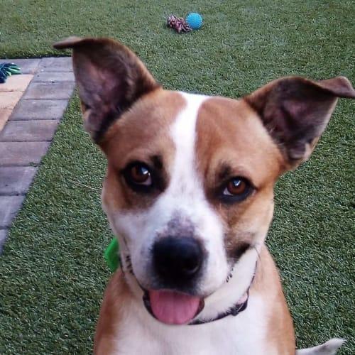 Yuki - Australian Cattle Dog x Basenji x Jack Russell Terrier x Kelpie x Pug Dog
