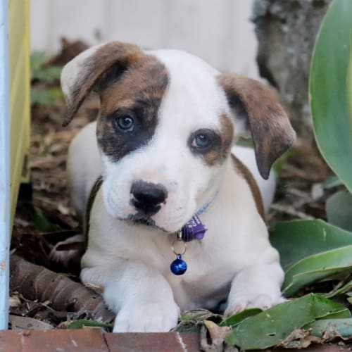 Leonard - Australian Bulldog x Kelpie Dog