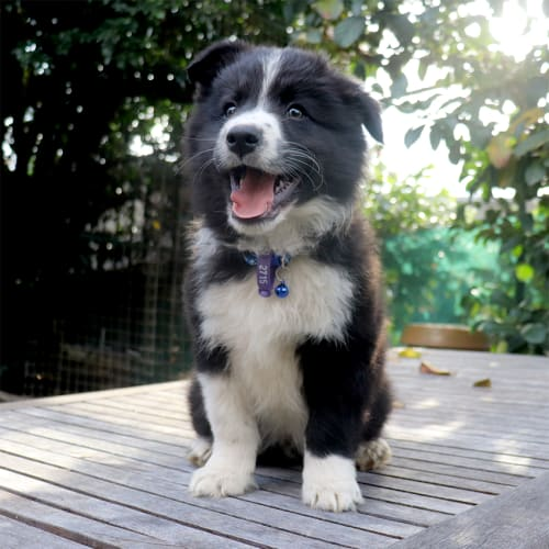 Egan - Border Collie Dog