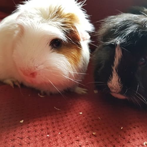 Cream (buddy of Mocha) - Smooth Hair Guinea Pig