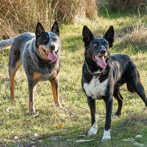 Bruce & Dougie - Kelpie Dog