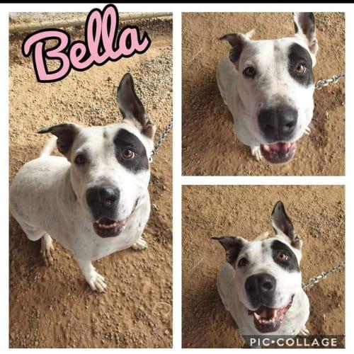 Bella - Bullmastiff Dog