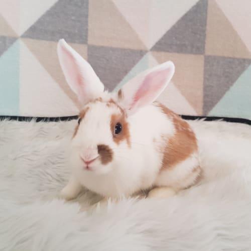 Aria - Dwarf Rabbit