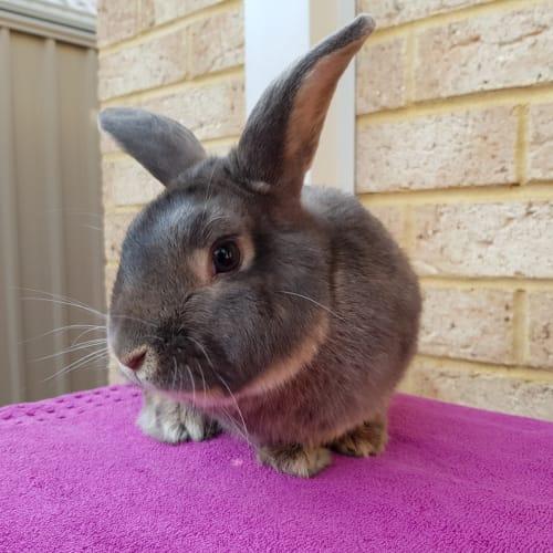 Jameson - Dwarf Rabbit