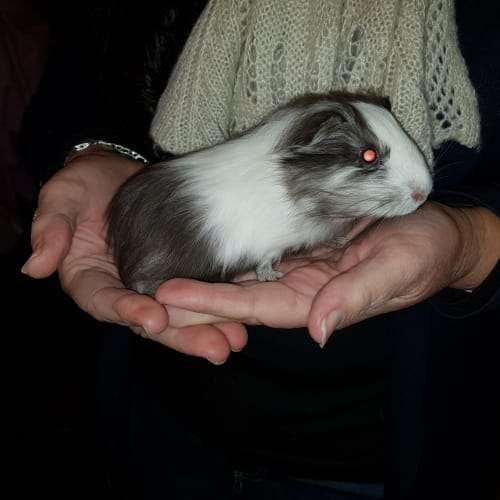Pikelet ( with Mum Kiwi) - Smooth Hair Guinea Pig