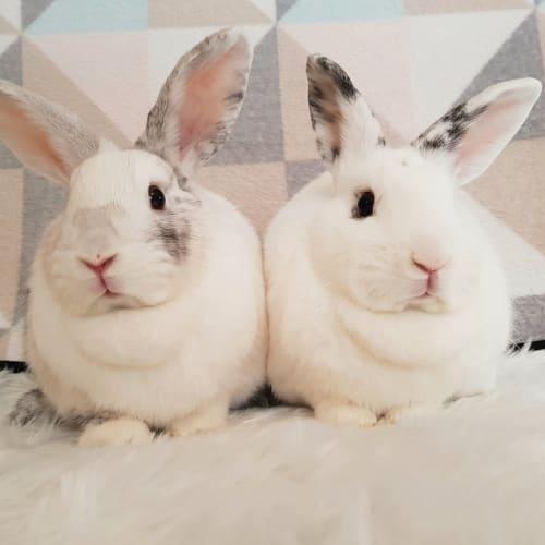 Darcie + Delilah - Harlequin x Domestic Rabbit