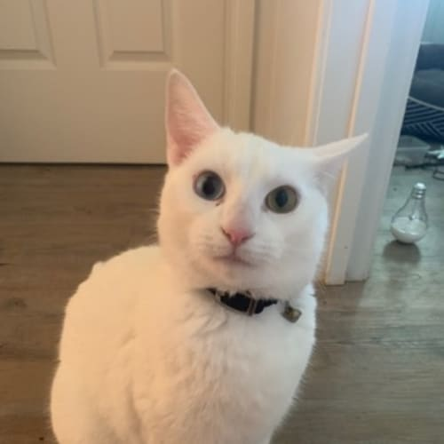 Joker - Domestic Short Hair Cat